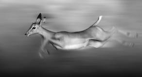 Impala running. And jumping at full speed royalty free stock image