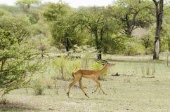 Impala running Stock Photo