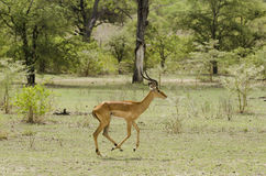 Impala running Royalty Free Stock Images