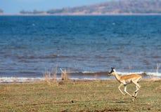 Female impala running along the shoreline of Lake Kariba with a lake background in Matusadona national park, zimbabwe. Impala running along the shoreline of Lake stock photo