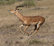 Impala running _ Botswana Royalty Free Stock Images