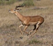 Impala running _ Botswana Royalty Free Stock Images