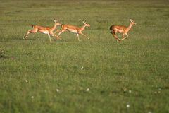 Impala running in Masai Mara. Three Impala running together in the Masai Mara grasslands Royalty Free Stock Image