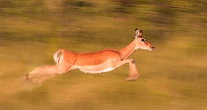 Impala running. Motion blur image of an impala running very fast Royalty Free Stock Photos