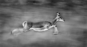 Impala running Stock Images