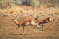 Impala running from predator South Africa. Impala gazelles from Pilanesberg nature reserve, South Africa Royalty Free Stock Photo