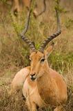 Impala s'étendant dans l'herbe photo stock