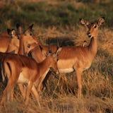 Impala's Stock Foto's