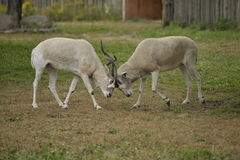 Impala's fighting. Two male impala's fighting with their horns Royalty Free Stock Photography