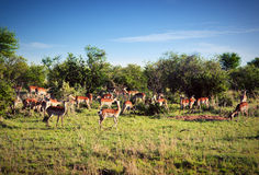 Impala's herd on savanna in Africa Stock Images