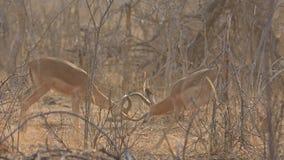 Impala's het vechten stock video