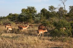 Impala in Sabi Sand, South Africa Royalty Free Stock Photo
