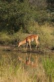 Impala in Sabi Sand, South Africa Stock Photos