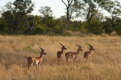 Impala in Sabi Sand, South Africa Stock Photo