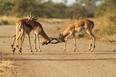 impala samiec Obrazy Royalty Free