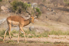 Impala samiec Zdjęcia Stock