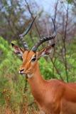 Impala samiec w Kruger parku narodowym Jesień w Południowa Afryka Obrazy Royalty Free
