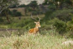 Impala samiec w Serengeti Zdjęcia Royalty Free