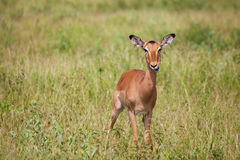 Impala in savanna Stock Photo