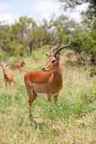 Impala in savanna Stock Image