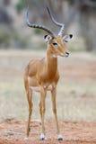 Impala. On savanna in Africa, Kenya royalty free stock photo