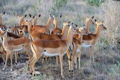 Impala on savanna in Africa Royalty Free Stock Photos