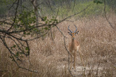 Impala in a the savanna de Gorongosa National Park Stock Photo