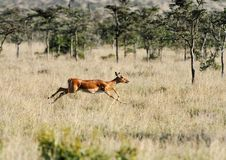 Impala in the Savannah Stock Photography
