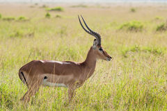Impala in the Savannah. Photo of an Impala in the Massai Mara Savannah, Kenya. Scientific name: Aepyceros melampus stock photo