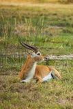 Impala in savanne van Botswana Stock Afbeelding
