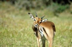 impala scratching 免版税库存图片