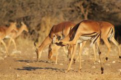 Impala scratching itchy ear - African Antelope Royalty Free Stock Photos