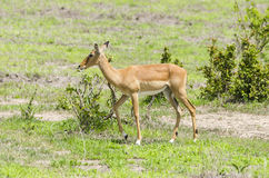 Impala in Selous Game Reserve Royalty Free Stock Photos