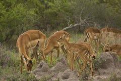 Impala'sfamilie die gras, het nationale park van Kruger, ZUID-AFRIKA eten Royalty-vrije Stock Afbeelding