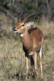 Impala showing the Flehman Responce - Botswana. Young male Impala (Aepyceros melampus melampus) showing the Flehman Responce - curling of the top lip and showing Royalty Free Stock Photo