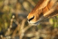 Impala Snout FOcus. A shot focusing on the snout of a young impala ram in the African Bush Royalty Free Stock Image