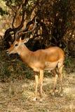 Impala sola Fotografia Stock Libera da Diritti