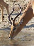 Impala som dricker, Chobe flod Arkivbilder