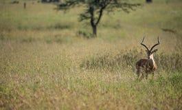 Impala som söker efter rovdjur Fotografering för Bildbyråer
