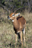 Impala som visar det Flehman svaret - Botswana royaltyfri foto