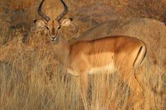 Impala am Sonnenaufgang Lizenzfreie Stockfotos