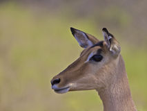 Impala, South Africa Royalty Free Stock Image