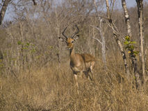 Impala in South African brush Stock Photography
