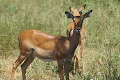 Impala Royalty Free Stock Photography