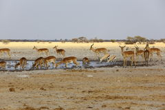 Impala and Springbok at the waterhole Royalty Free Stock Images