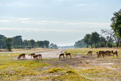 Impala stada pasanie blisko Xakanaxa lądowiska w Moremi gry rezerwie Obrazy Royalty Free