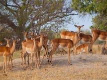 Impala stado Zdjęcie Stock