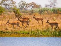 Impala stado Fotografia Royalty Free