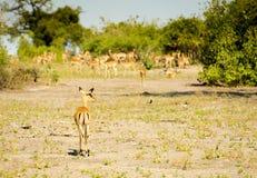 Impala stado Afryka Obrazy Royalty Free