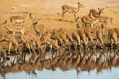 Impala stado pije przy Chudop waterhole w Etosha Nationla parku Zdjęcie Stock